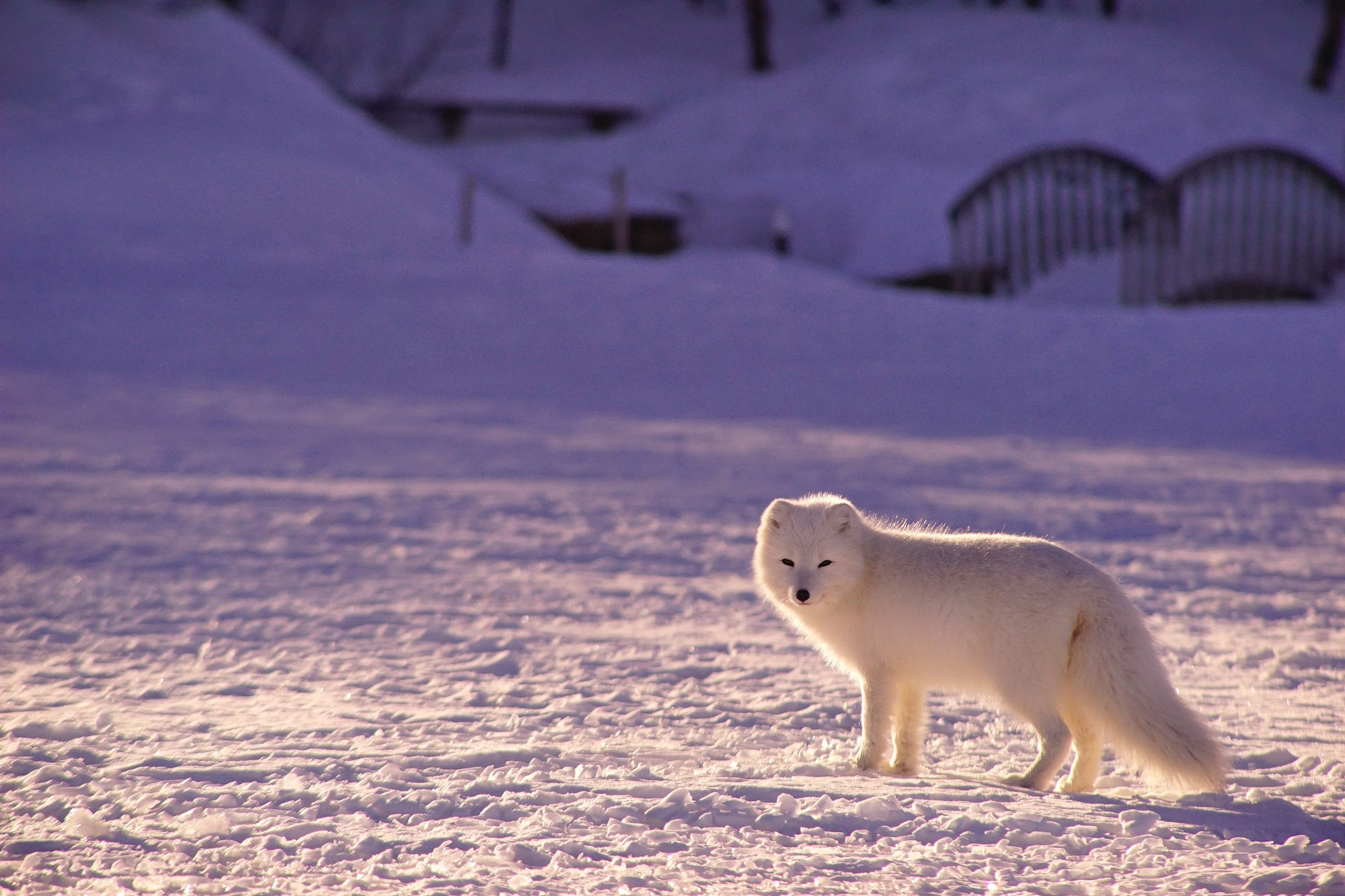 Top 3 Facts About The Arctic Fox